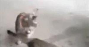 Ryba łapie kota