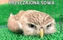 Przyczajona sowa