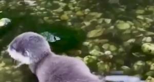 Mała wydra