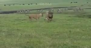 Najodważniejszy pies ever