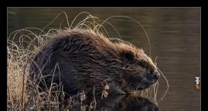 W 1948 roku miał miejsce przerost populacji bobrów w Idaho (USA)