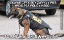 Ciekawe czy kiedy zwykły pies widzi psa policyjnego