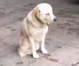 Zmęczony piesel