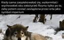 Biedna wilczyca kapitolińska