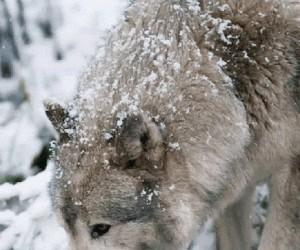Gładki wilk