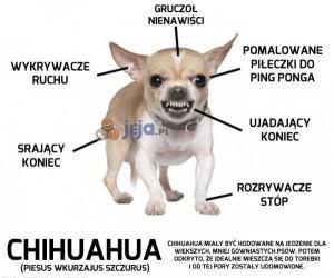 Anatomia Chihuahuy