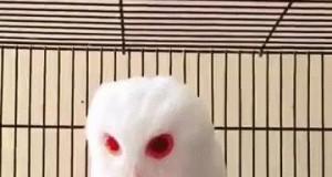 Sówka albinos