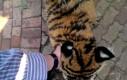 Kiedy przypomniałeś sobie, że nie powinieneś uciekać plecami od tygrysa