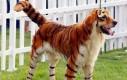 Podwórkowy tygrys
