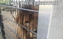 Lew Leon Cię obserwuje