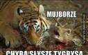 Dziki tygrys!