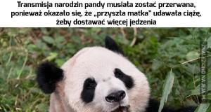 Trochę panda, trochę troll