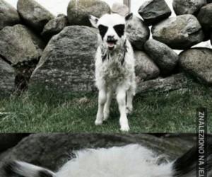 """""""Zamaskowana"""" koza"""