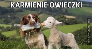 Karmienie owieczki
