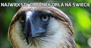 Największy gatunek orła na świecie
