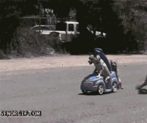 Drag racing z psami