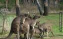 Kangury to dziwne stworzenia...