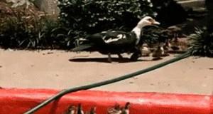 Na pomoc małym kaczkom