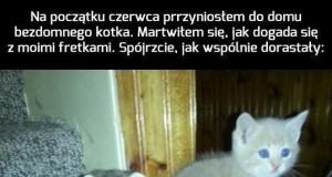 Kotek dorastający z fretkami