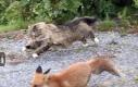 Norweski kot łapie lisa