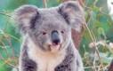 Koala - słodziutka... do czasu