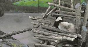 Panda zaskoczona przez wiewiórkę