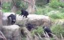Szympans vs szop