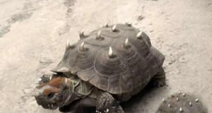 Nowa odmiana żółwi