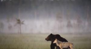 Niezwykła przyjaźń wilczycy i niedźwiedzia