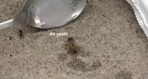 Gdy pszczoła przedawkuje cukier
