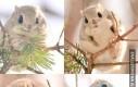Wiewiórka zamieszkująca Japonię