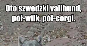 Oto szwedzki vallhund