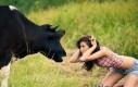 Zabawy z krowami są niebezpieczne