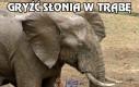 Gryźć słonia w trąbę