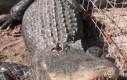 Aligator też lubi mizianko