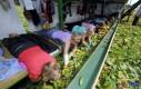 Nowoczesne zbieranie ogórków