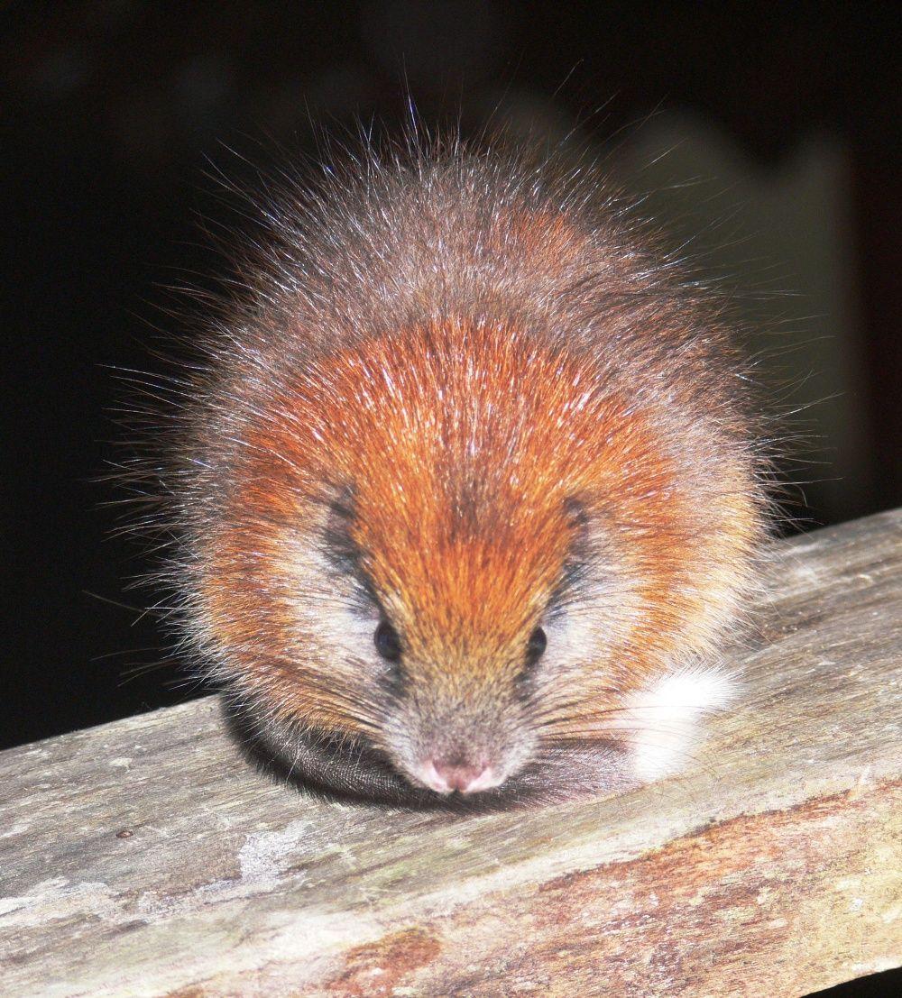 Szczur drzewny Świętej Marty. - użytkownik chupacabra001