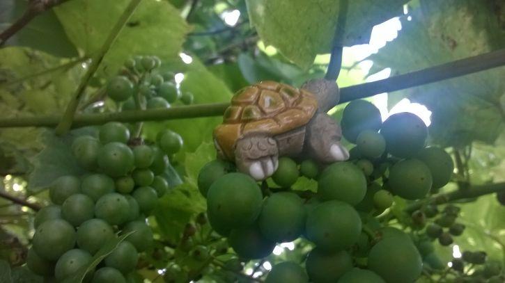 żółwik & winna przygoda
