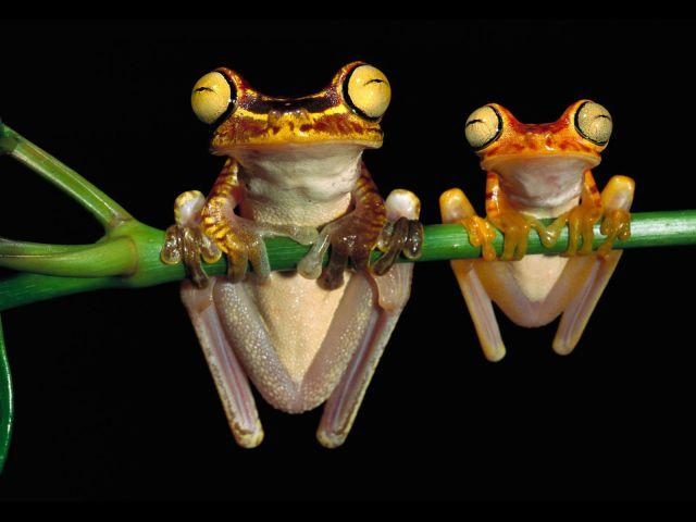 Dwie śmieszne żabki