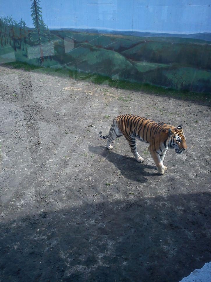 Tygrysełeł