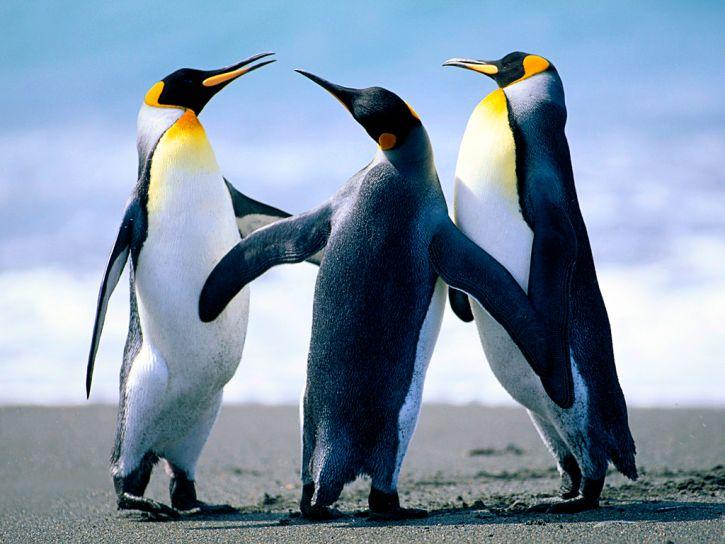 moje pingwin