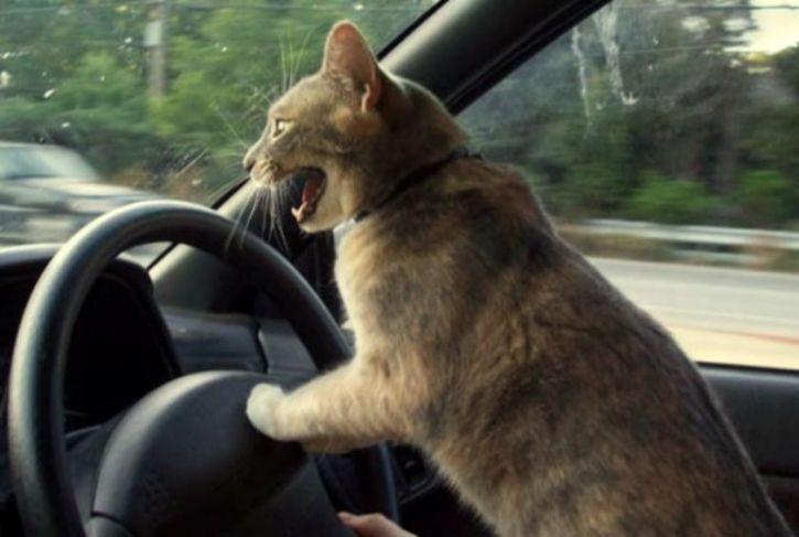Kot prowadzi auto