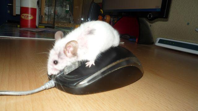Mysza myszy nie równa