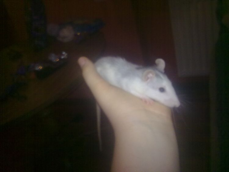 mój szczur
