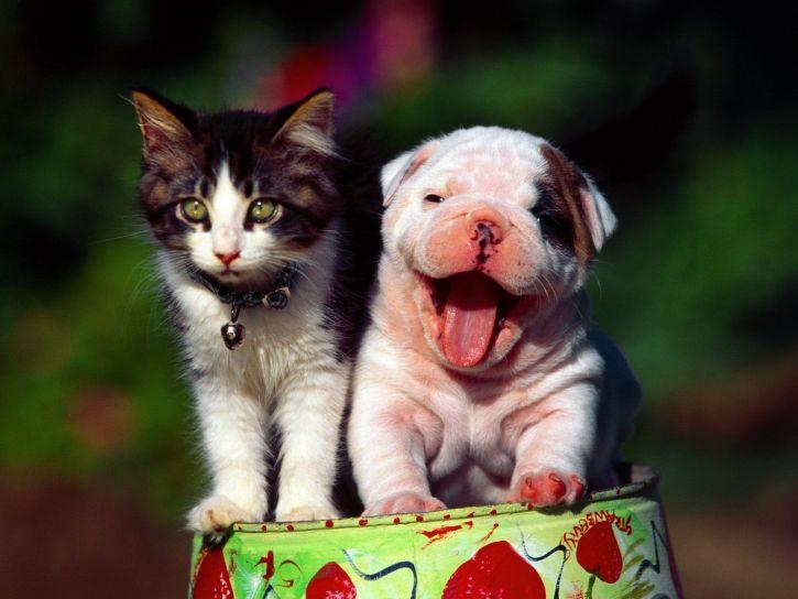 Jak się dogadują psy i koty?