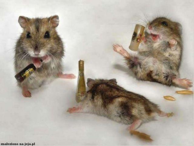 Chomiki pijane
