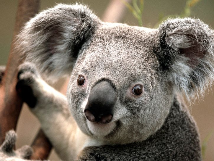 koala w dupe
