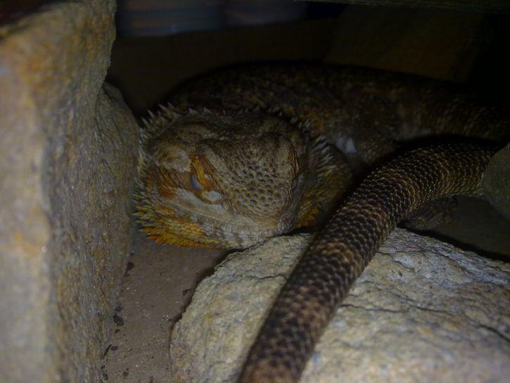 znów moja jaszczurka