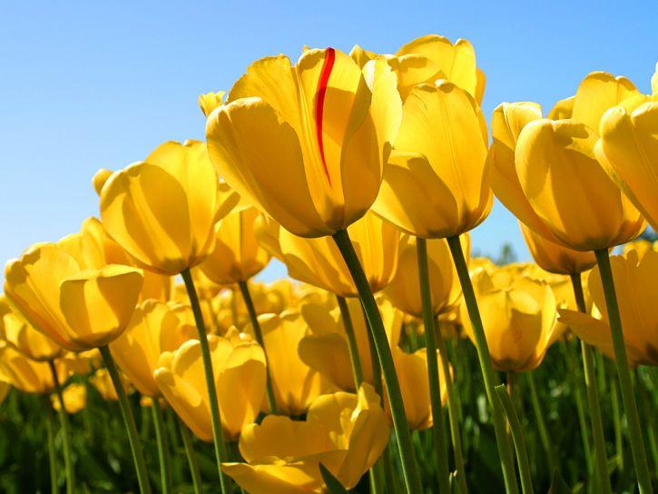 tulipki :)