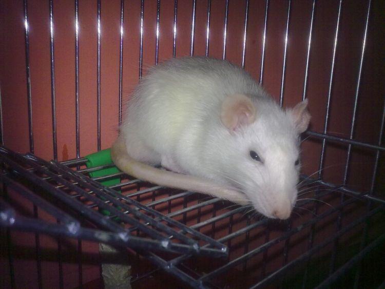 mój szczurek ( najnowsze zdjęcie )